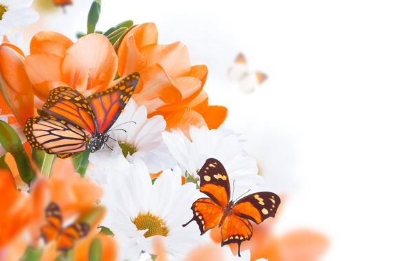 Picture butterfly, flowers, buds, twigs, white chrysanthemums, orange flowers