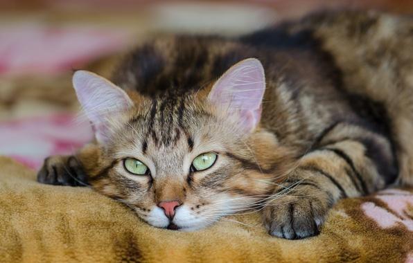 Picture eyes, cat, mustache, look, Koshak, lies, looks, Tomcat