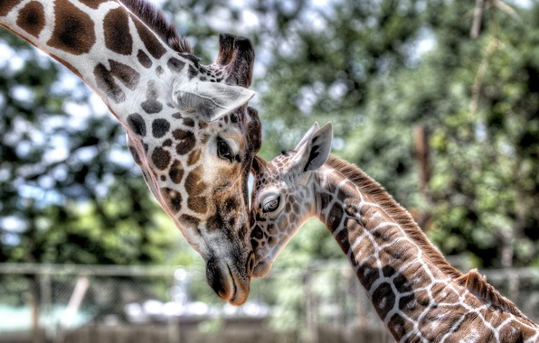 Picture tenderness, baby, giraffe, cub, mom