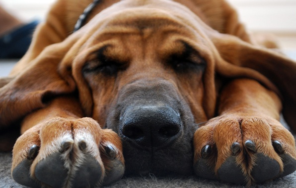 Picture face, dog, paws, nose, sleeping