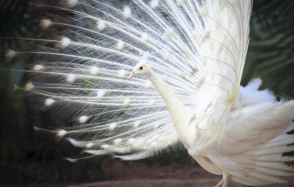 Picture bird, feathers, tail, white Indian peacock