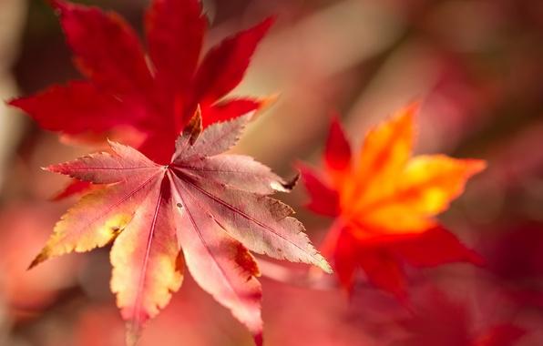 Picture autumn, leaves, macro, maple