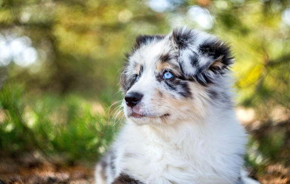 Picture face, portrait, dog, puppy, Australian shepherd, Aussie