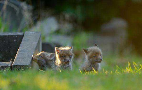 Picture Fox, kids, trio, cubs, cubs