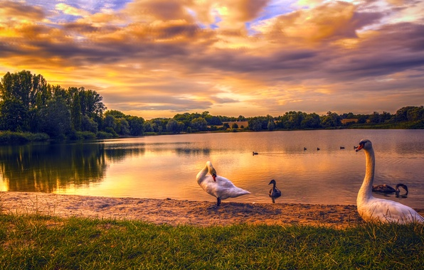Picture sand, grass, trees, sunset, lake, duck, Germany, swans, geese, Berlin, Kaulsdorfer Lake