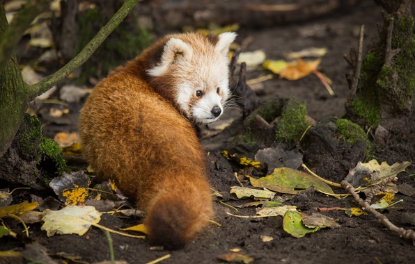 Picture look, leaves, red Panda, firefox, red Panda