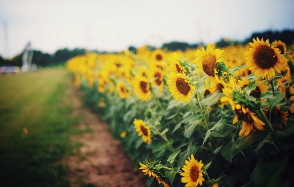 Picture greens, field, grass, leaves, sunflowers, flowers, yellow, bright, background, widescreen, Wallpaper, field, sunflower, blur, wallpaper, ...