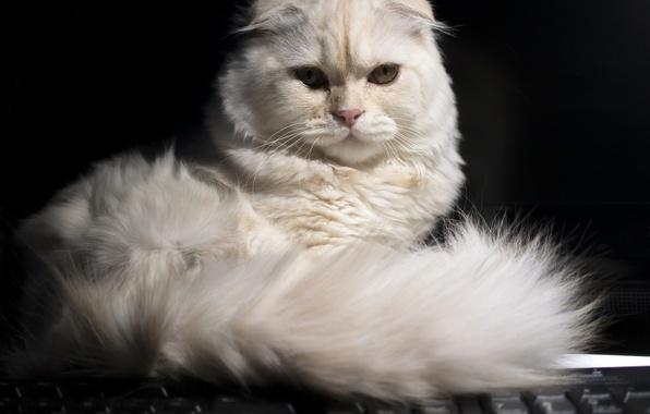 Picture look, tail, Scottish fold, Scottish fold cat