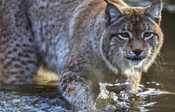 Picture cat, look, water, predator, lynx