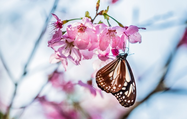 Picture macro, flowers, cherry, sprig, tree, focus, spring, Butterfly, petals, blur, Sakura, pink, flowering