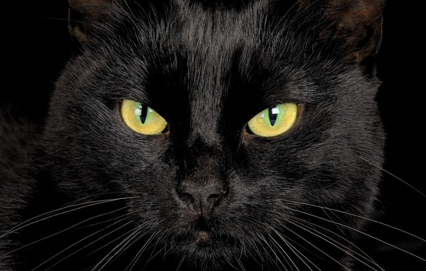 Picture eyes, look, black cat