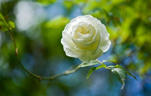 Picture macro, rose, Bud, bokeh, white rose