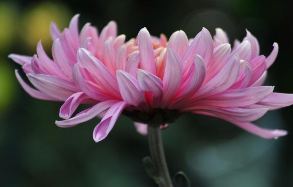 Picture flower, summer, chrysanthemum