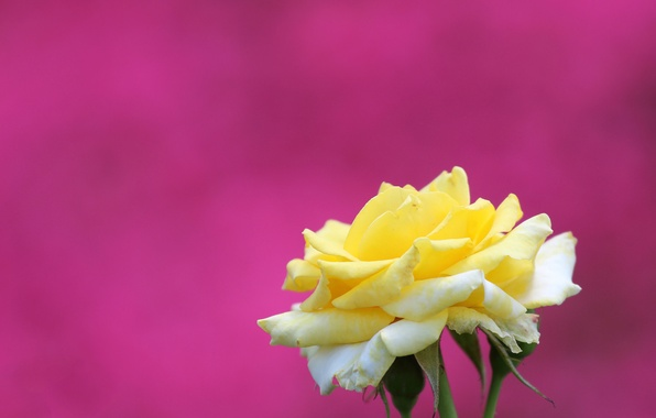 Picture macro, background, rose, petals, Bud