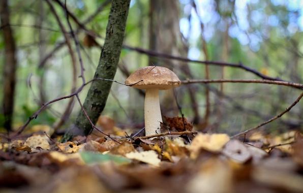 Picture autumn, forest, mushrooms, boletus