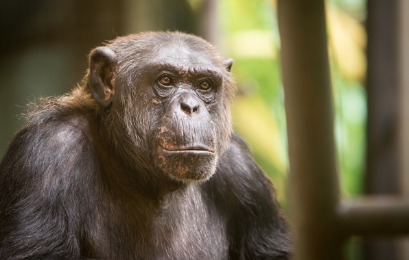 Picture look, monkey, Chimpanzee