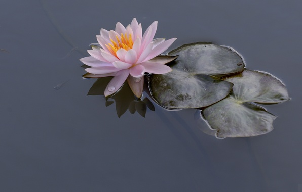 Picture leaves, water, Lily, Nymphaeum, water Lily