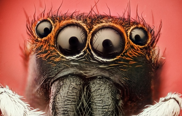 Picture spider, eyes, insect