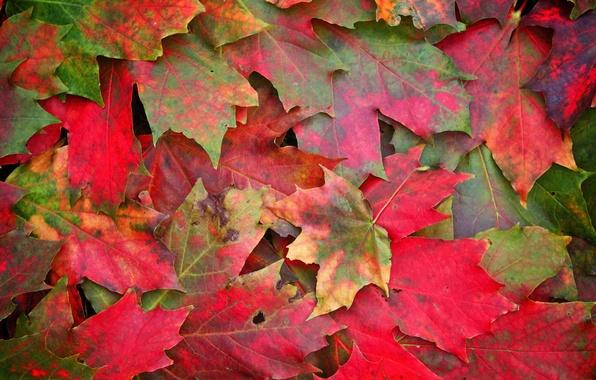 Picture autumn, leaves, macro, photo