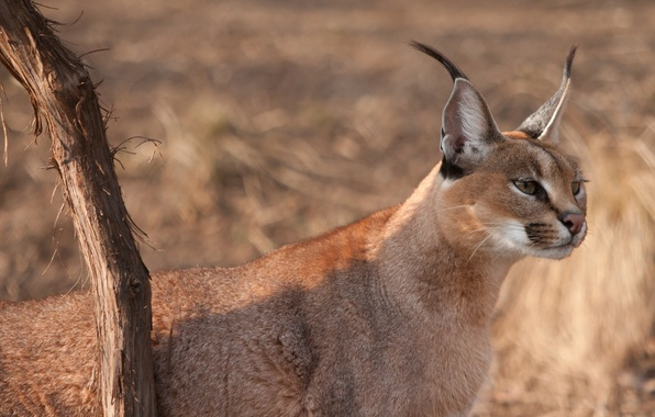 Picture cat, look, face, branch, ears, looks, wild, brush, Caracal