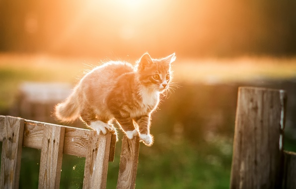 Picture white, the sun, light, nature, kitty, grey, the fence, Cat, bokeh
