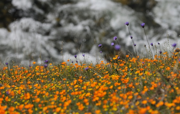 Picture flowers, nature, yellow, lilac, wildflowers, cornflowers