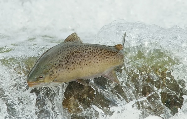 Picture water, fish, BROWN TROUT