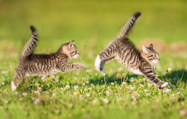 Picture the game, kittens, a couple, lawn, twins, tails, catch-up