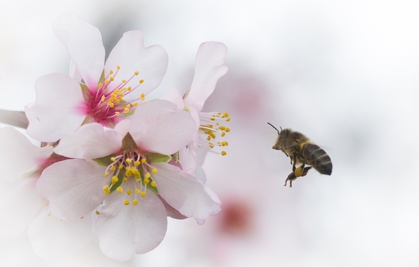 Picture flowers, cherry, bee, branch