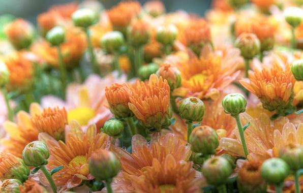Picture drops, macro, flowers, Rosa, petals, gerbera, buds
