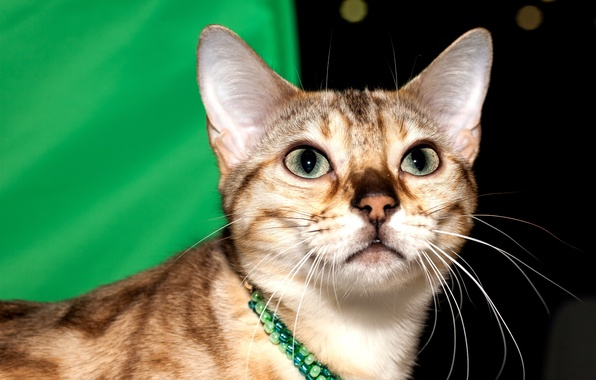 Picture cat, eyes, look, face, Bengal, black spotted