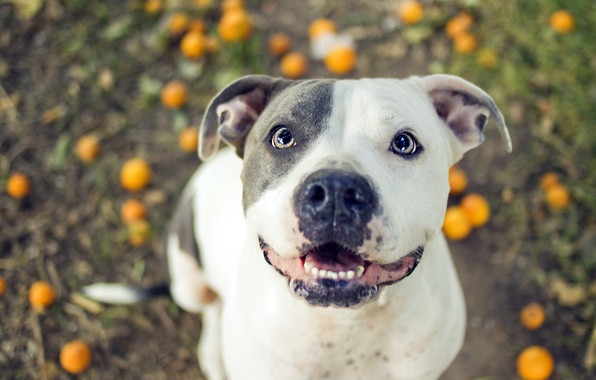 Picture each, dog, pit bull