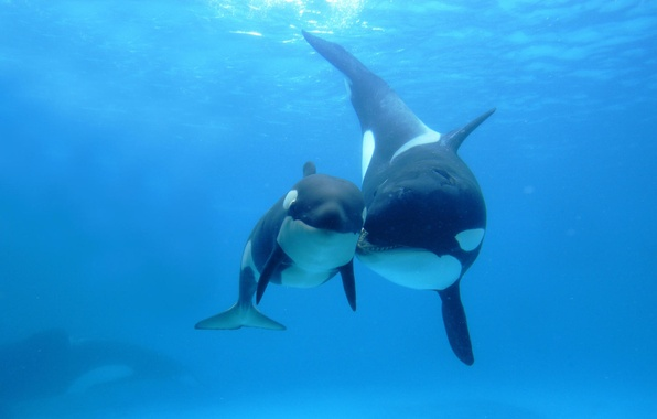 Picture the ocean, spot, two, mom, child, Orcas