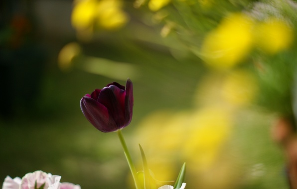 Picture leaves, macro, flowers, red, background, widescreen, Wallpaper, Tulip, blur, tulips, wallpaper, flowers, widescreen, background, full …