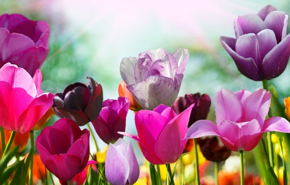 Picture flower, color, flowers, nature, Tulip, spring, petals, tulips