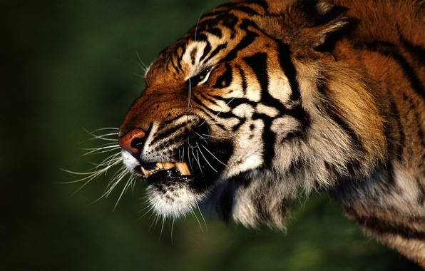 Picture tiger, anger, Forest