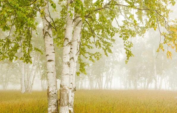Picture fog, Canada, Ontario, birch, Thunder Bay