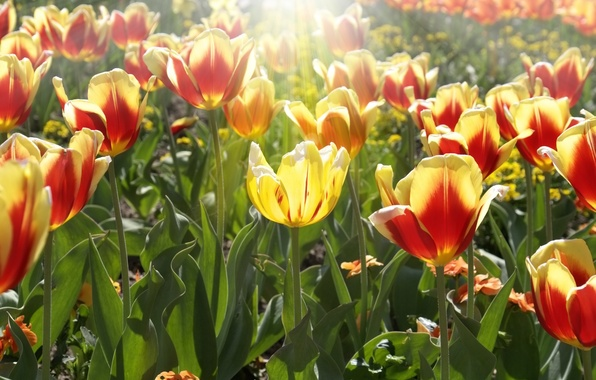 Picture leaves, the sun, rays, flowers, yellow, red, background, Wallpaper, tulips, flowers, widescreen, full screen, HD …