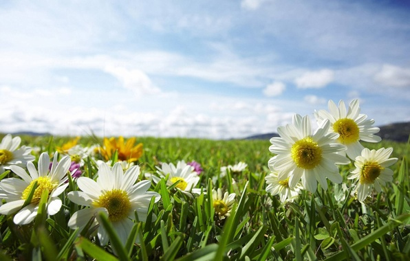 Picture field, the sky, the sun, rays, light, flowers, nature, chamomile, plants, weed