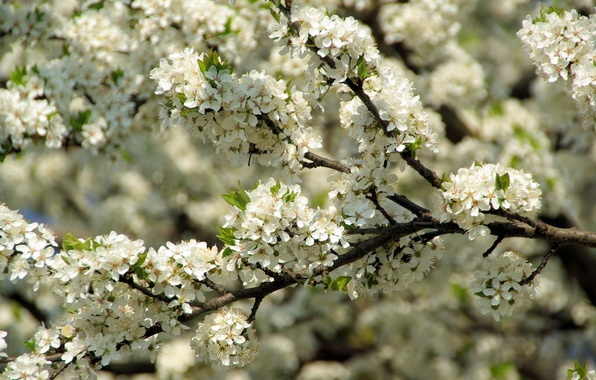 Picture macro, cherry, branch, spring, petals, beautiful, Sunny, flowering, gently, flourishing, magnificently, luxuriously