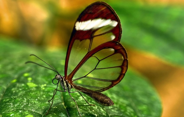 Picture BUTTERFLY, WINGS, GREENS, INSECT, TRANSPARENT