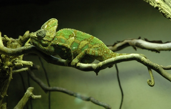 Picture chameleon, tree, branch