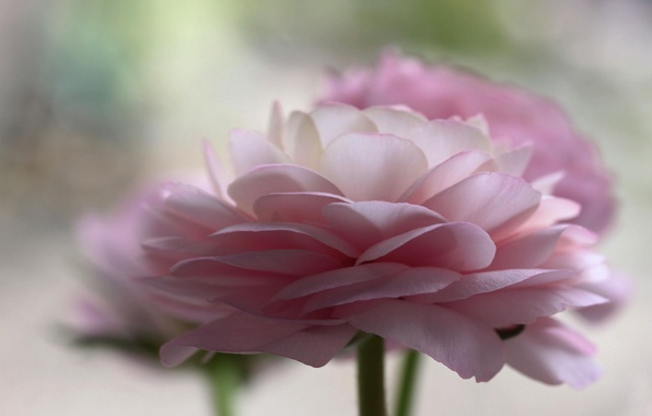 Picture flowers, pink, buttercups, ranunculus