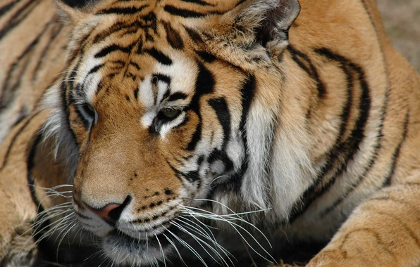 Picture animals, look, tiger