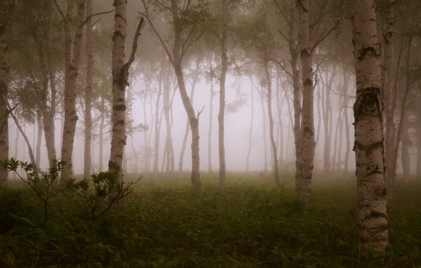 Picture forest, trees, branches, fog, forest, trees, fog, branches