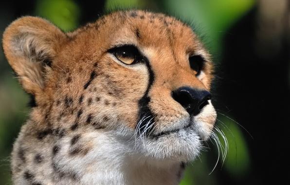 Picture mustache, face, predator, Cheetah, looks