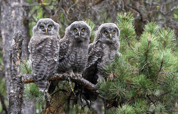 Picture birds, branch, owls, trio, pine, Trinity, Great grey owl