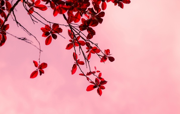 Picture leaves, macro, trees, branches, red, background, tree, pink, Wallpaper, branch, wallpaper, leaves, widescreen, background, full ...