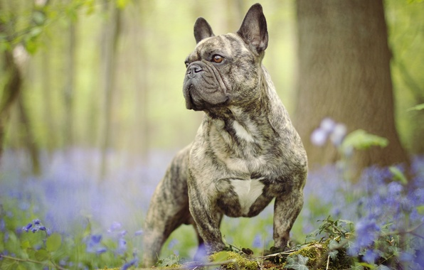 Picture flowers, dog, bulldog, stand, bokeh, French bulldog