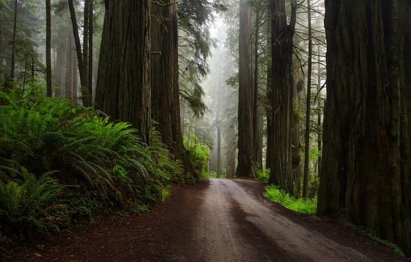 Picture road, forest, nature, ferns, after the rain, USA, Sequoia